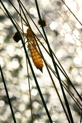 exuvie de libellule