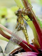 Exuvienhülle und Libelle
