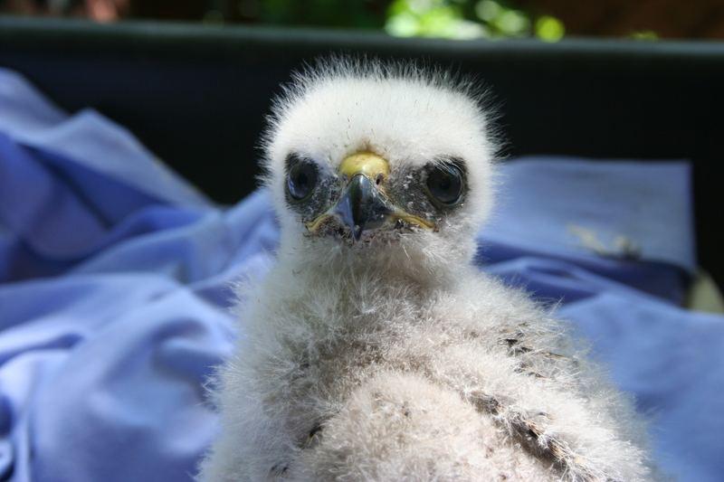 Eyass Broad-winged hawk