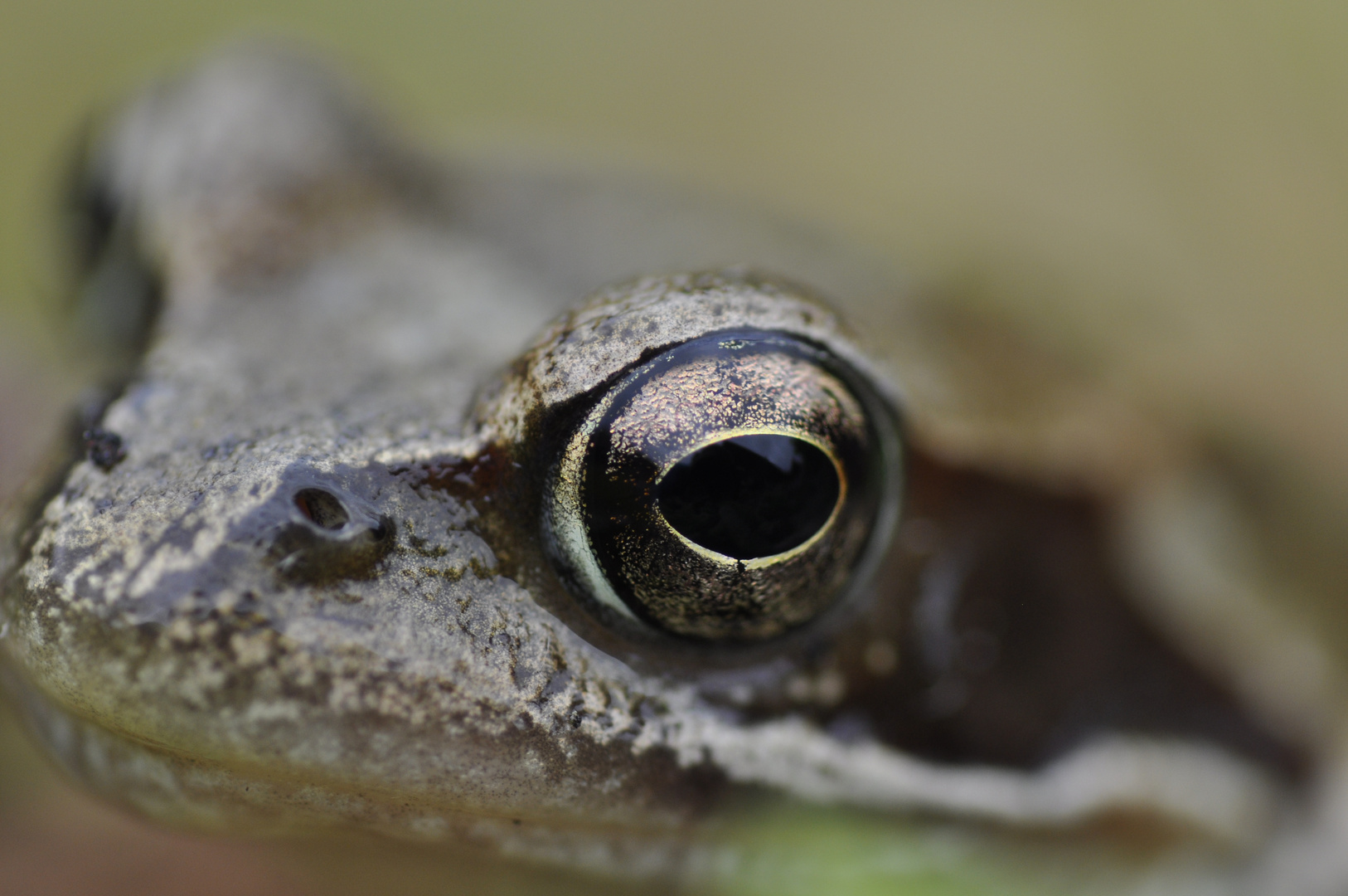 Eye of the frog
