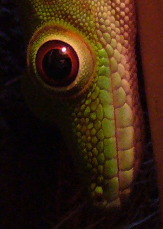 Eye of the Gecko