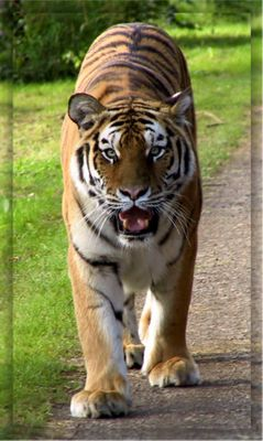 ----Eye of the Tiger----