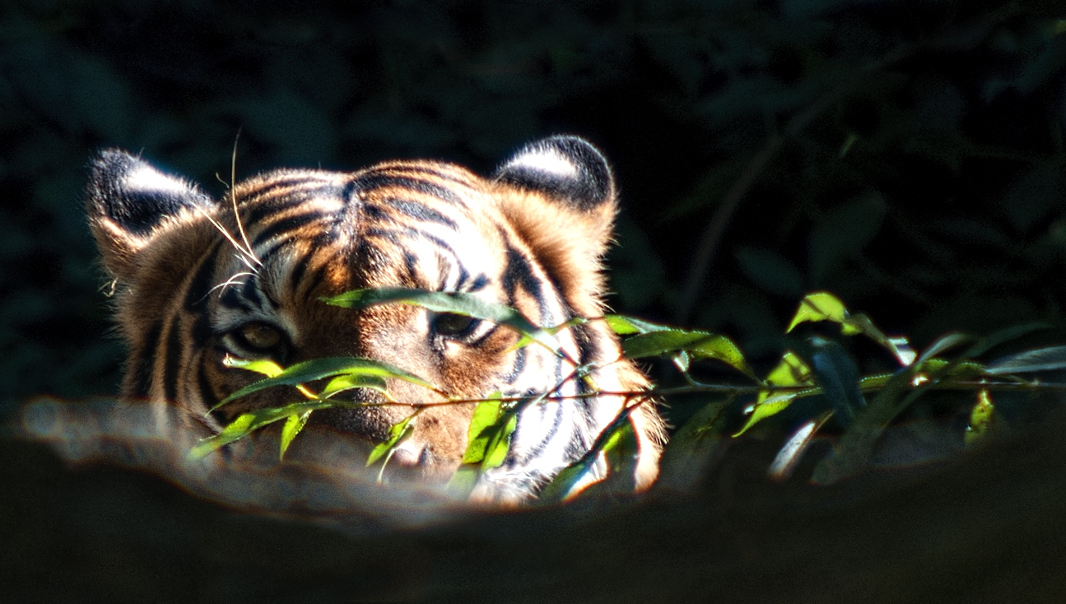 Eye of the Tiger :)
