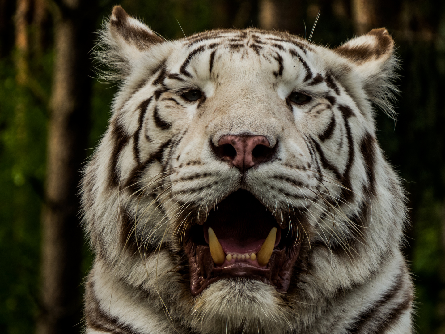 eye of the white tiger
