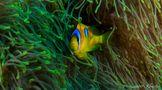 Clownfisch de K4nz1er