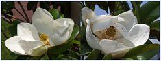 Fleurs de magnolia sur le Boulevard de la mer à Hendaye von Jifasch32