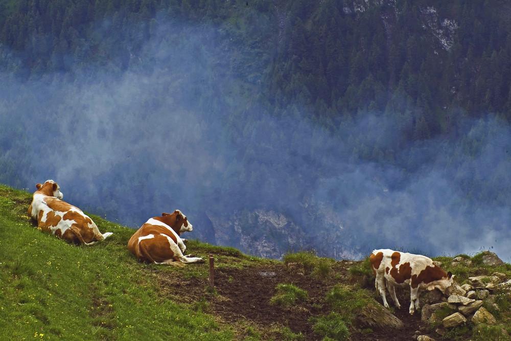 fabbriche del latte in alta quota = mucche alpine