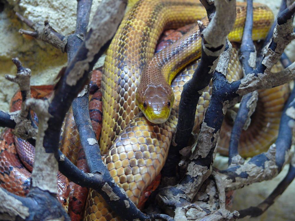 Faca à face avec un serpent