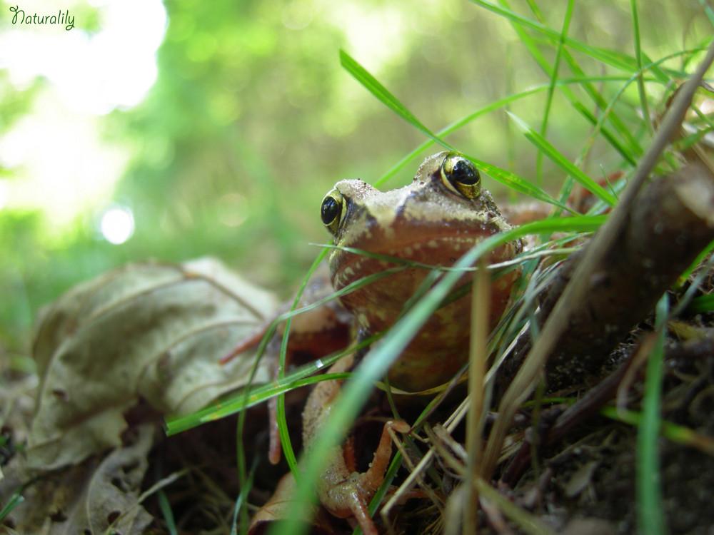 Face à face amphibien