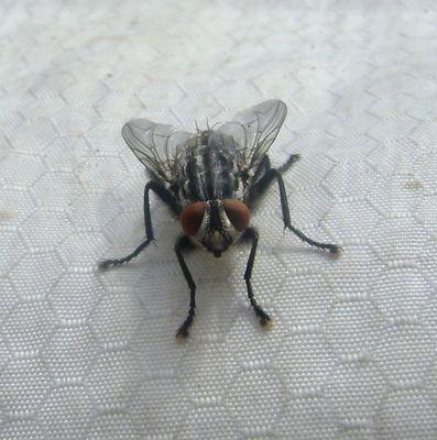 face a face avec une mouche