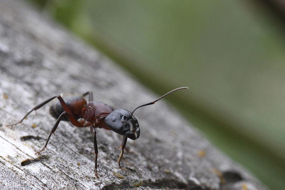 Face de fourmi