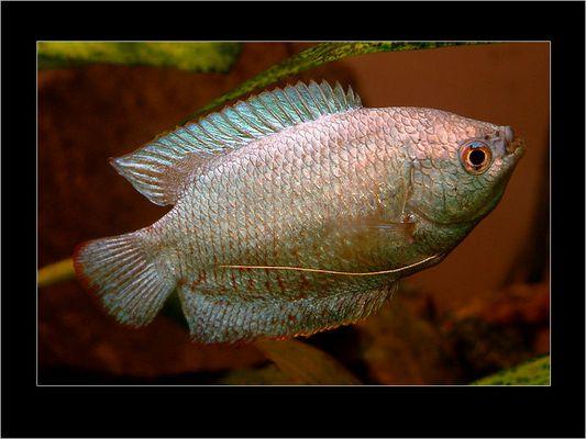 Fadenfisch II