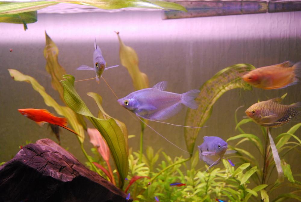 Fadenfische mit kleiner Schnechke links