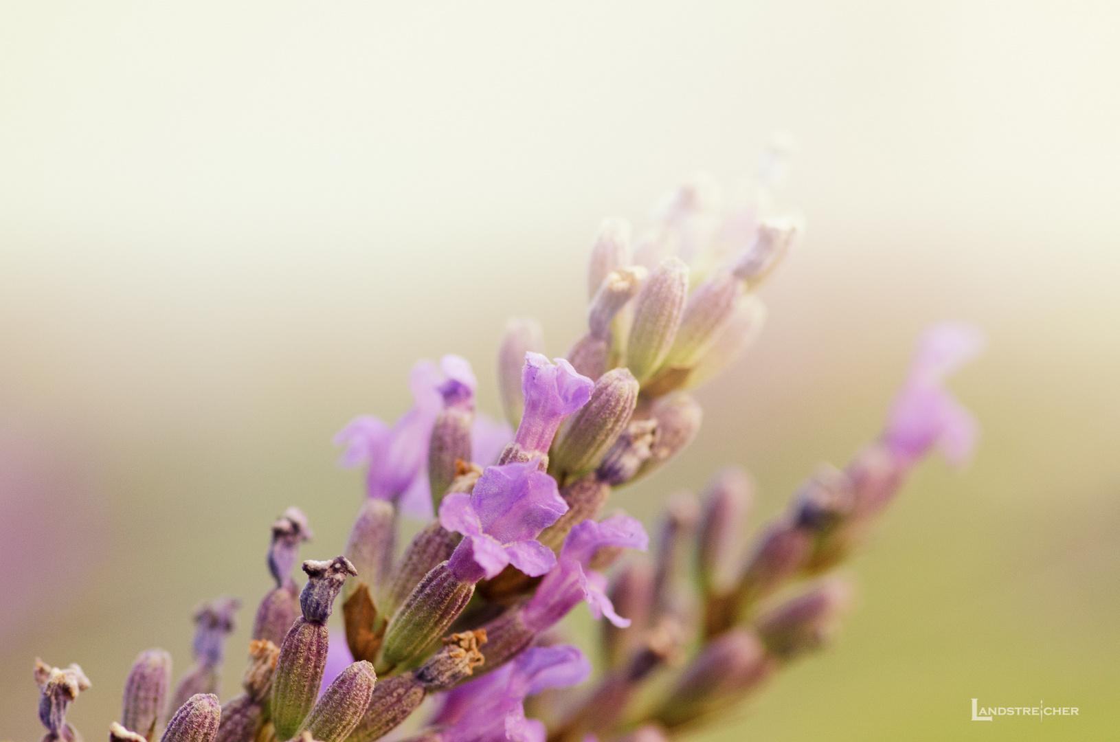 Fading Lavender