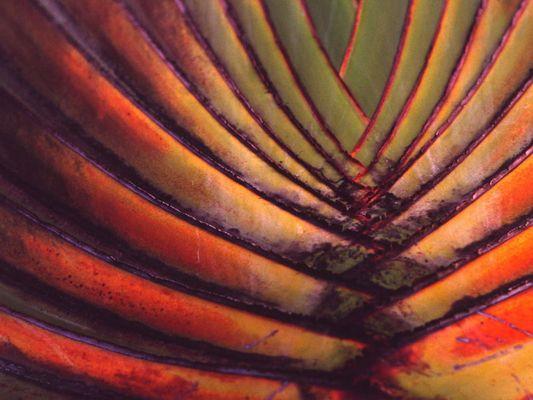 Fächer - Palme
