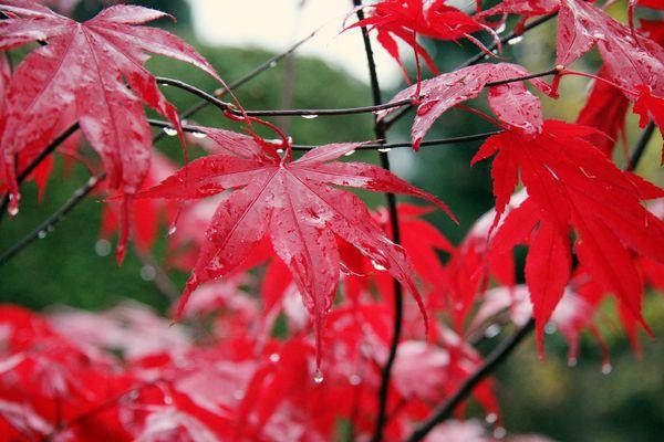 Fächerahorn im Herbst (Acer Palmatum)