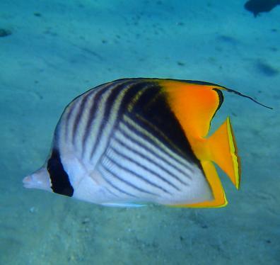 Fähnchenfalterfisch