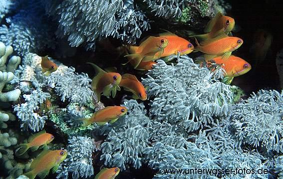 Fahnenbarsche im Riff