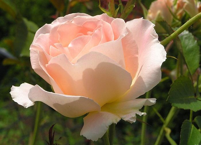 Fairy-Rose