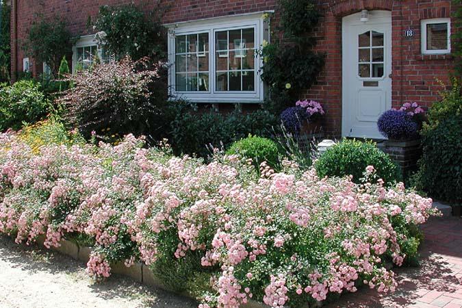 Fairy-Rosen im Vorgarten