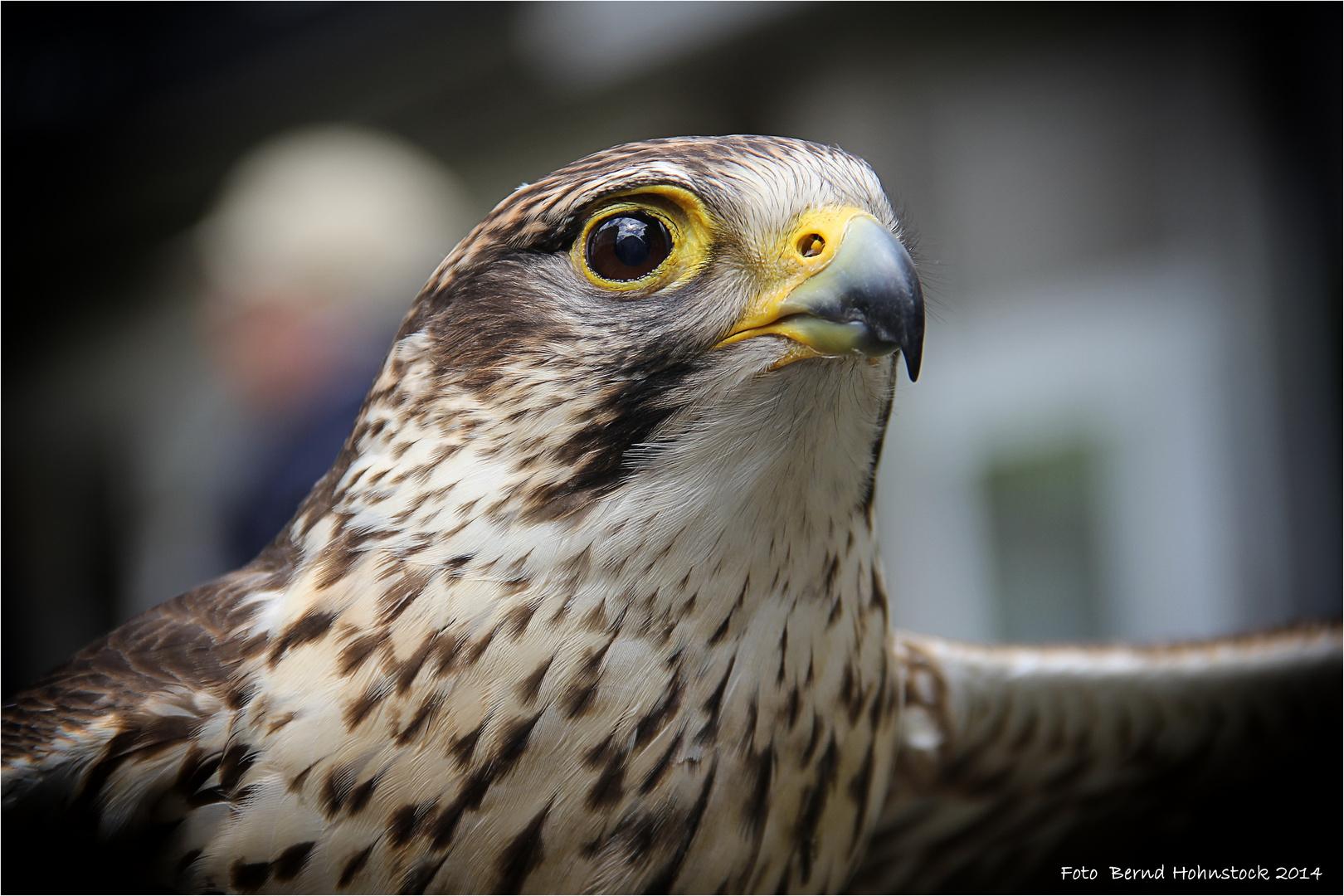Falco ...