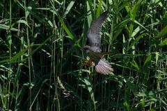 Falco a parco nord