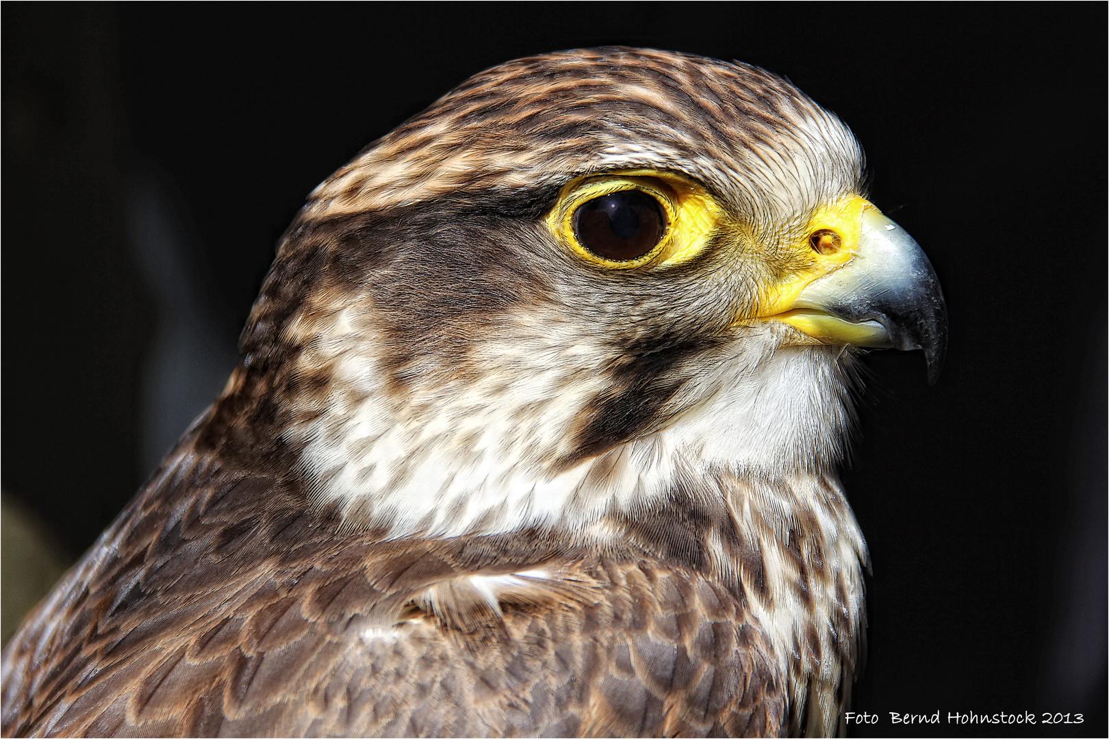 Falco cherrug .... oder  Sakerfalke