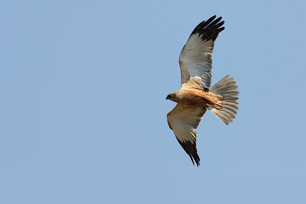 falco di palude maschio