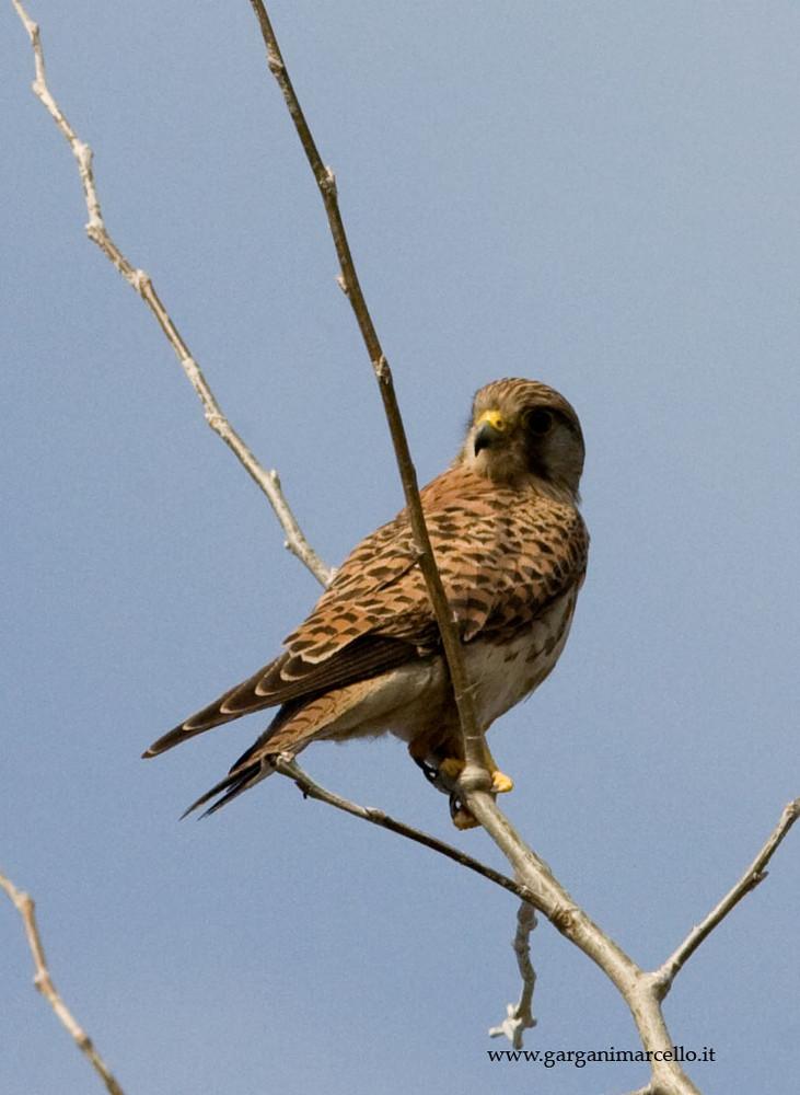 falco in attesa