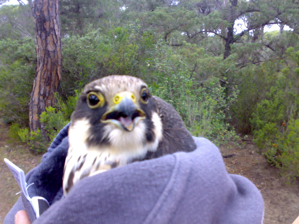 falco lodolaio