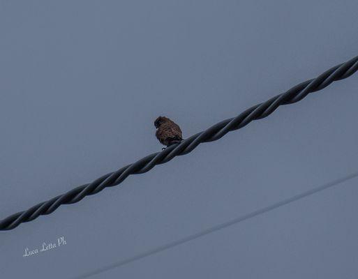 Falco pellegrino.