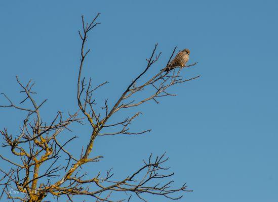 Falco pellegrino?