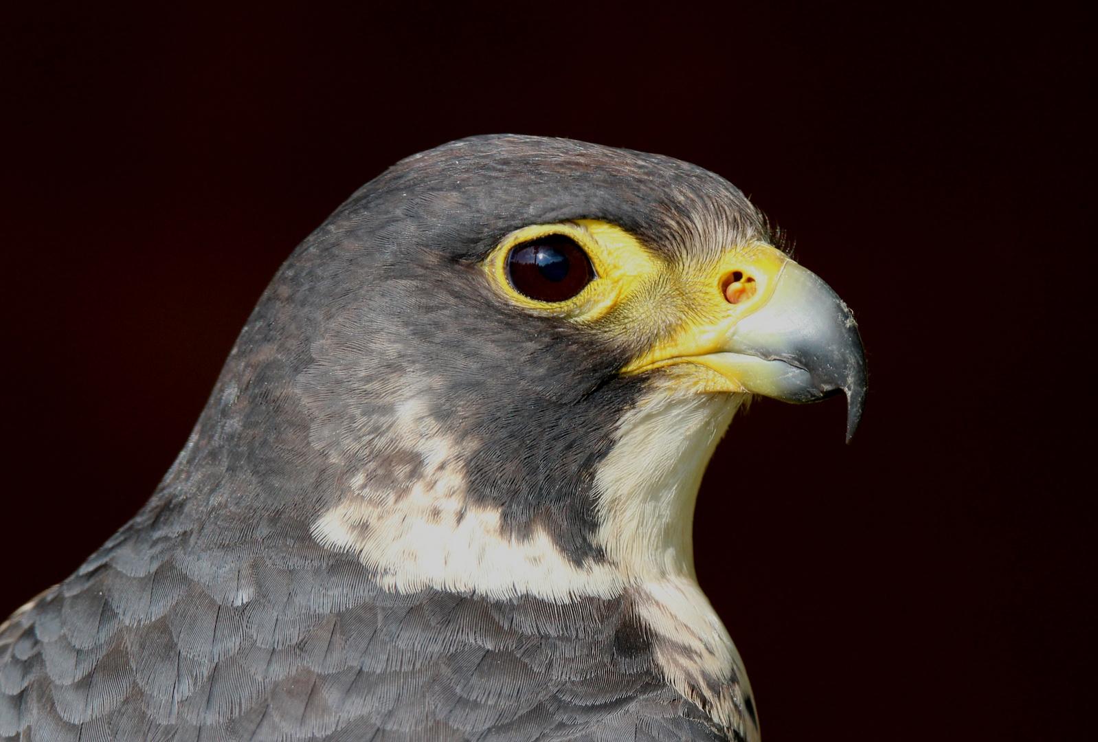Falco peregrinus - Wanderfalke