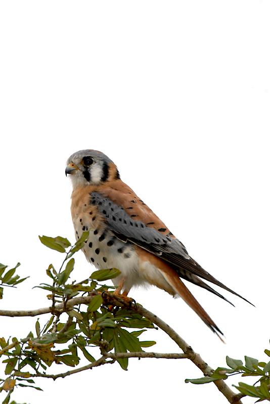 Falco Sparverius Buntfalke