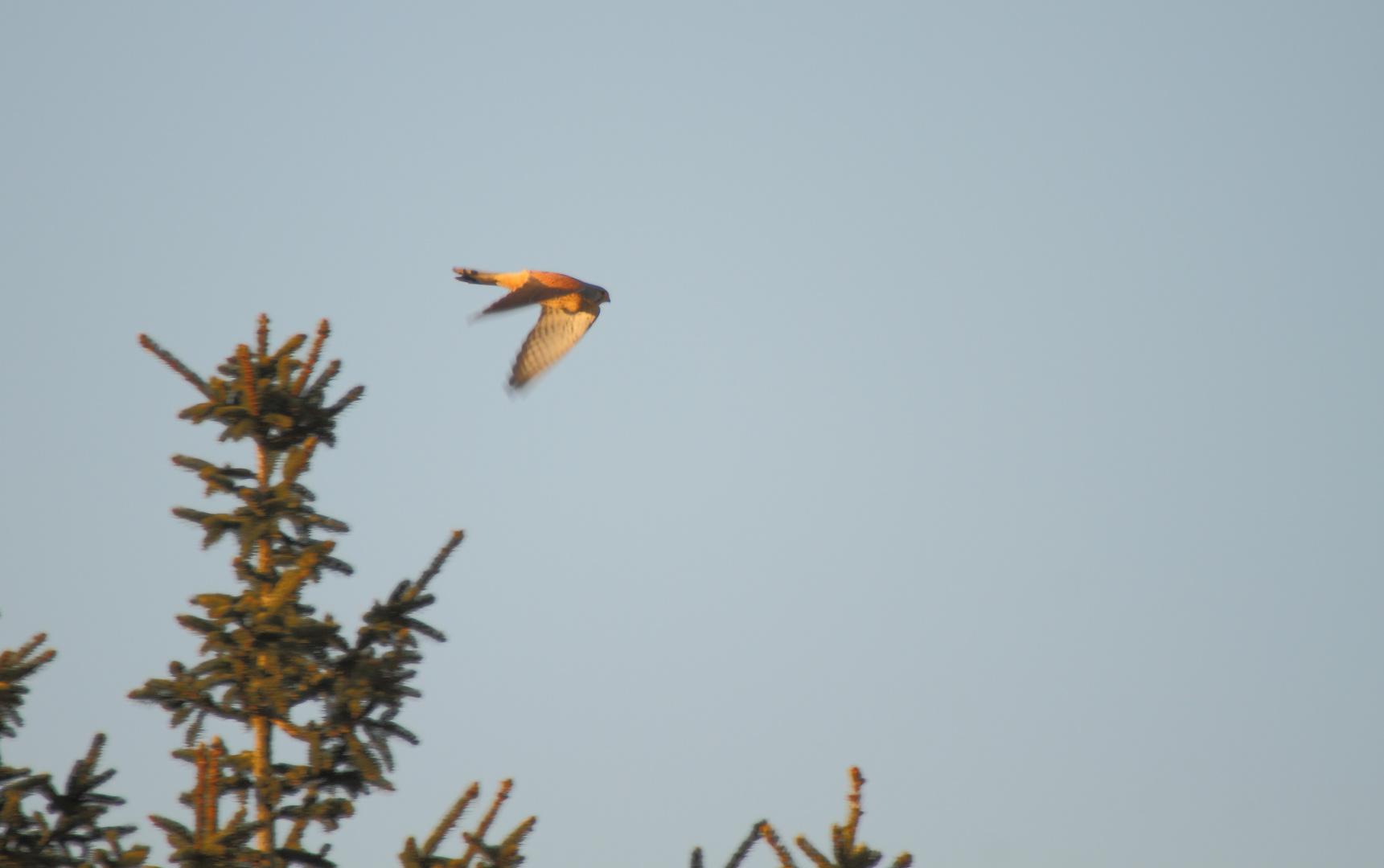 falcon-spring