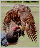 falconieri...