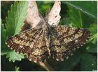 Falena con antenne satellitari-Semiaspilates ochrearius maschio