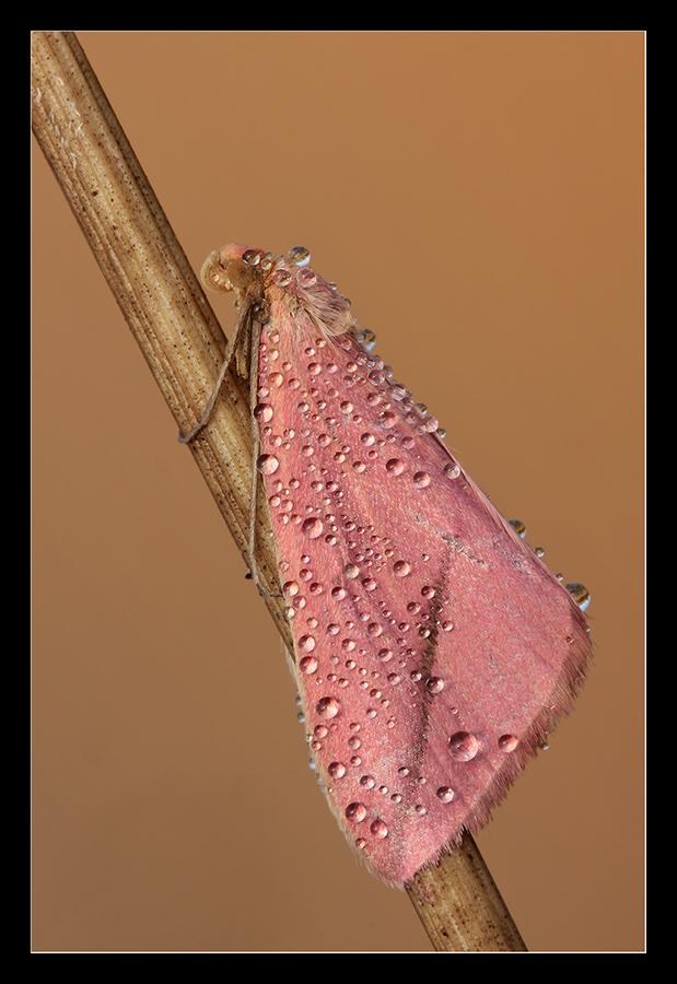 Falena rosa