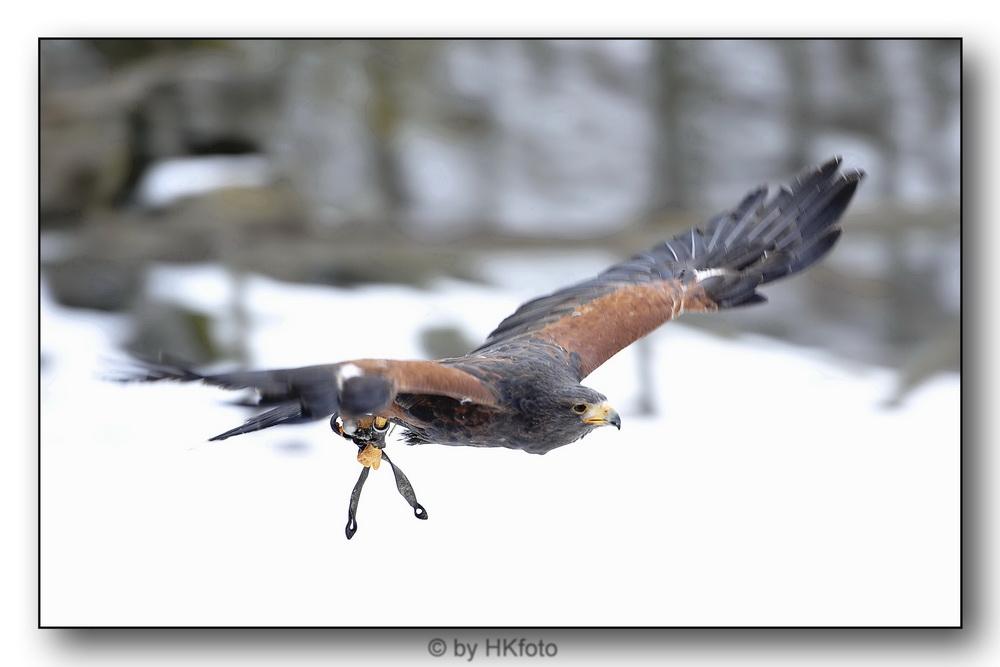 Falke 1