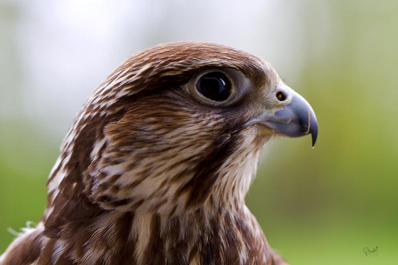 Falke 1 (Naturfototage FFB)