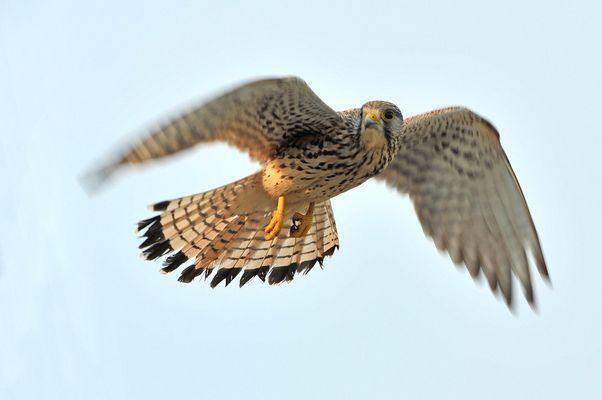 Falke 12