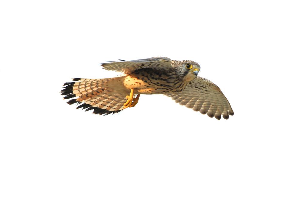 Falke 15
