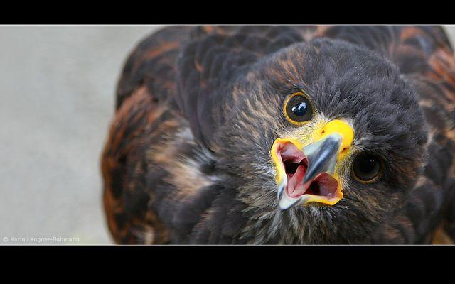 Falke 2