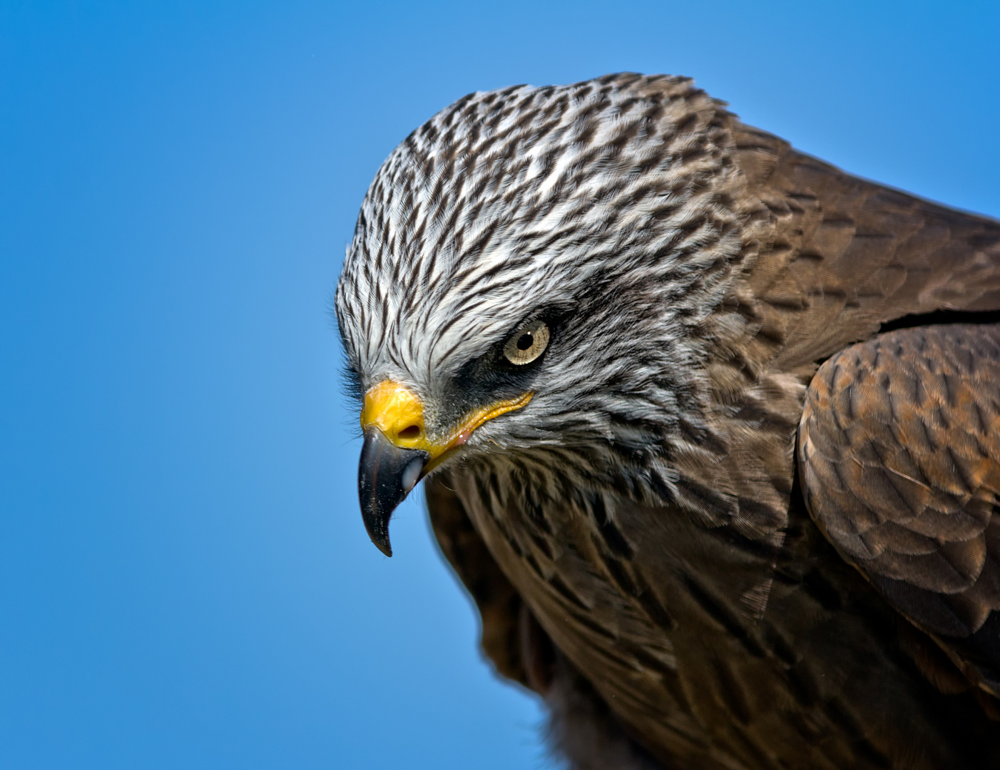 Falke 3