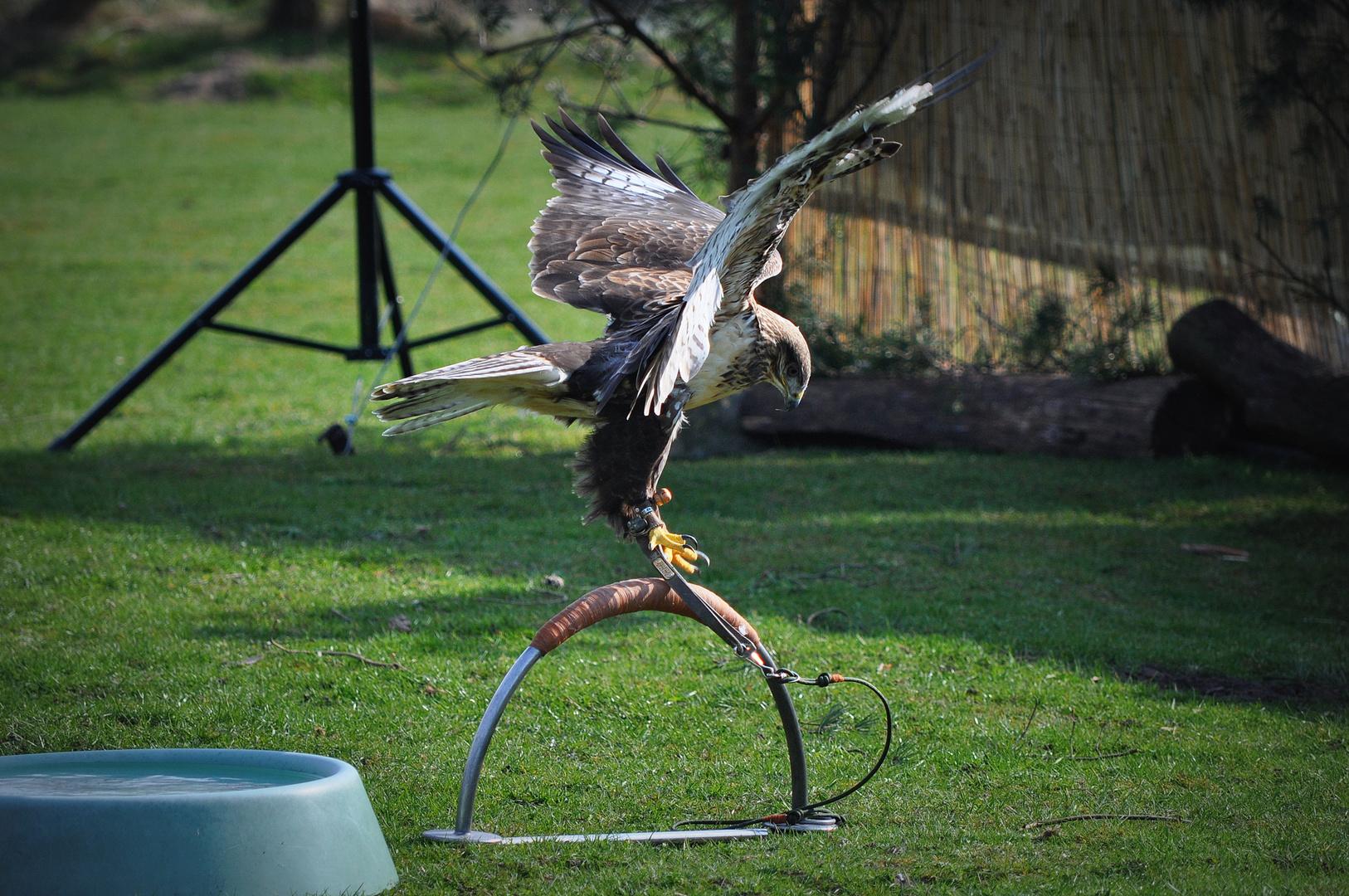 Falke an der Leine