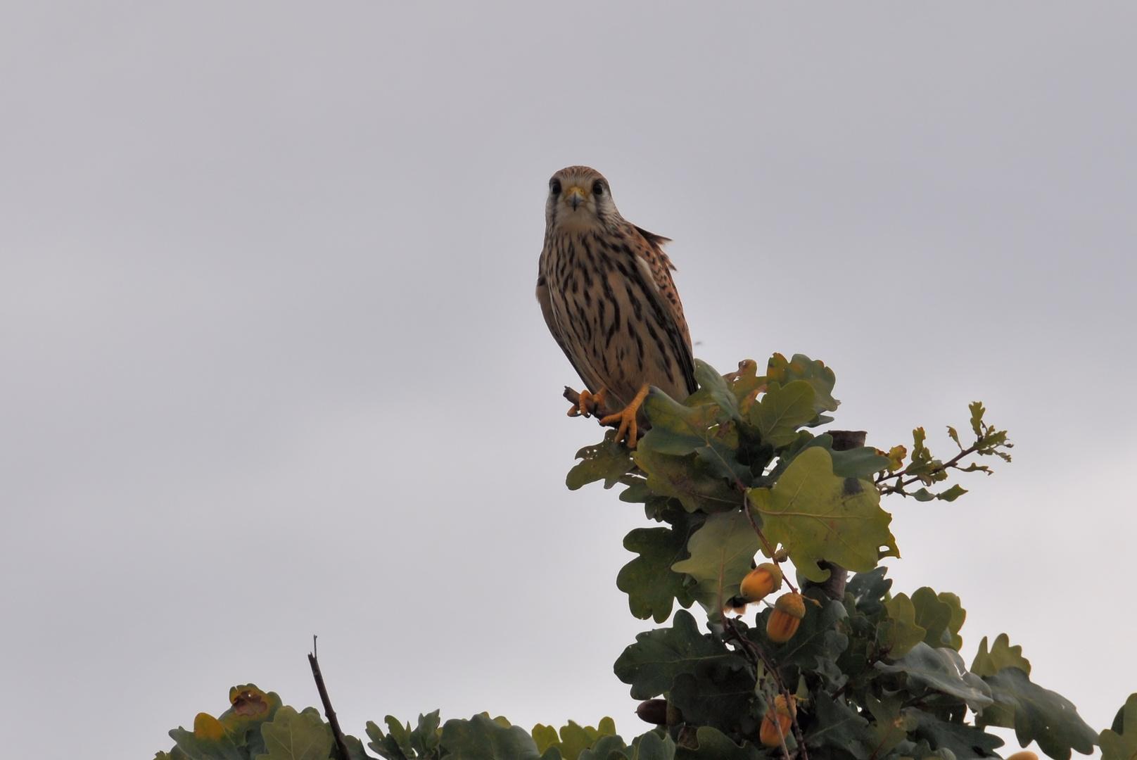 Falke auf Eiche