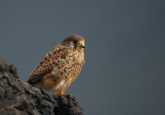 Falke auf el Hierro