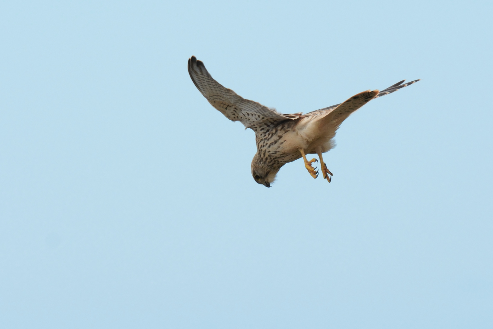 Falke auf Helgoland 2
