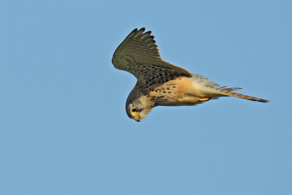 Falke bei Starkwind