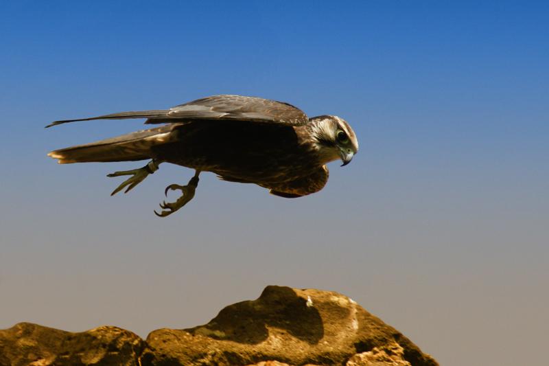 Falke beim Abflug